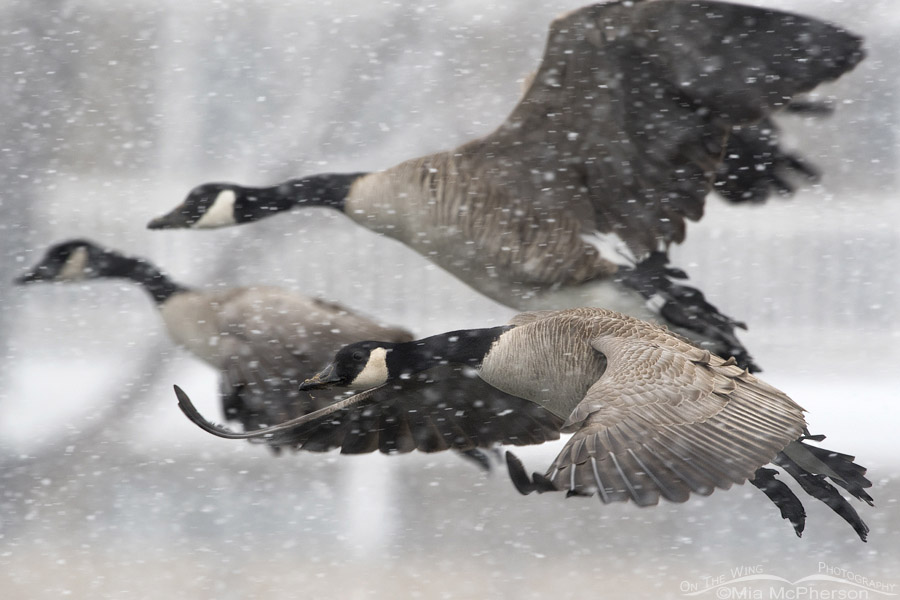 geese in snow storm